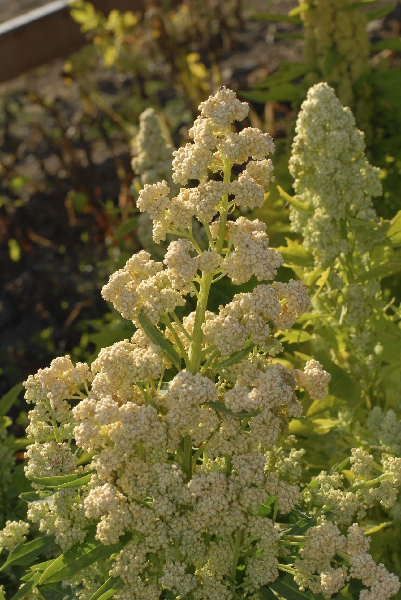 Temuco Quinoa: Beautiful orange seed heads and yellow-green, large roundish leaves. Medium-size, golden seeds are very sweet. Accepts more moisture than most.