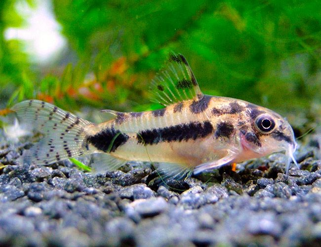 Too small and wiggly dwarf habrosus cory catfish for Cory cat fish
