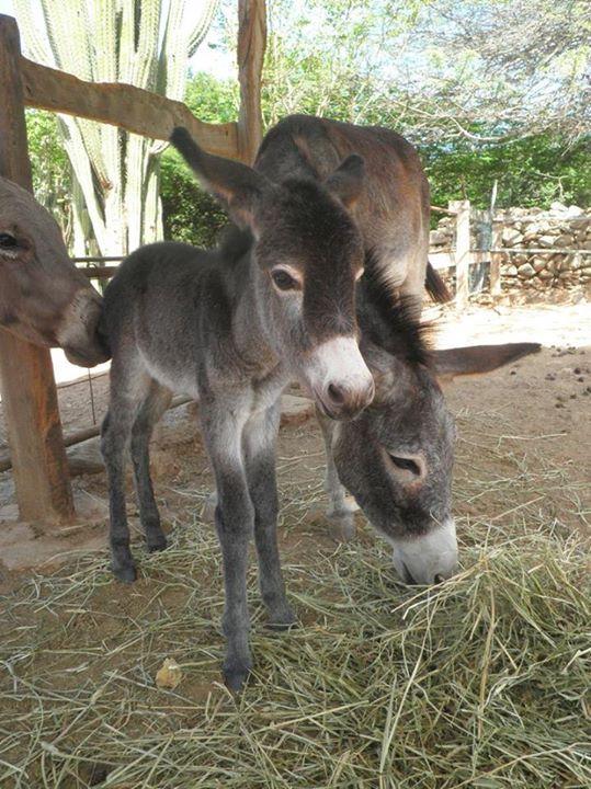 Courtesy: Donkey Sanctuary Aruba  | CUTE DONKEYS | Cute