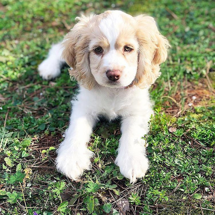 Visit Our Website For More Info On Spaniel Puppies It Is Actually An Outstanding Area To Find Out More Spanielpuppies Cocker Spaniel Puppies English Cocker Spaniel Puppies Baby Dogs