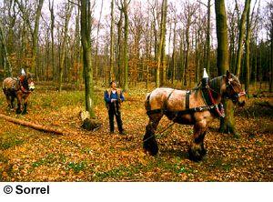 Breeds of Livestock - Belgian Horse