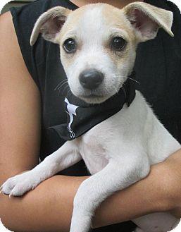 Foster Ri Chihuahua Jack Russell Terrier Mix Meet Lamar In