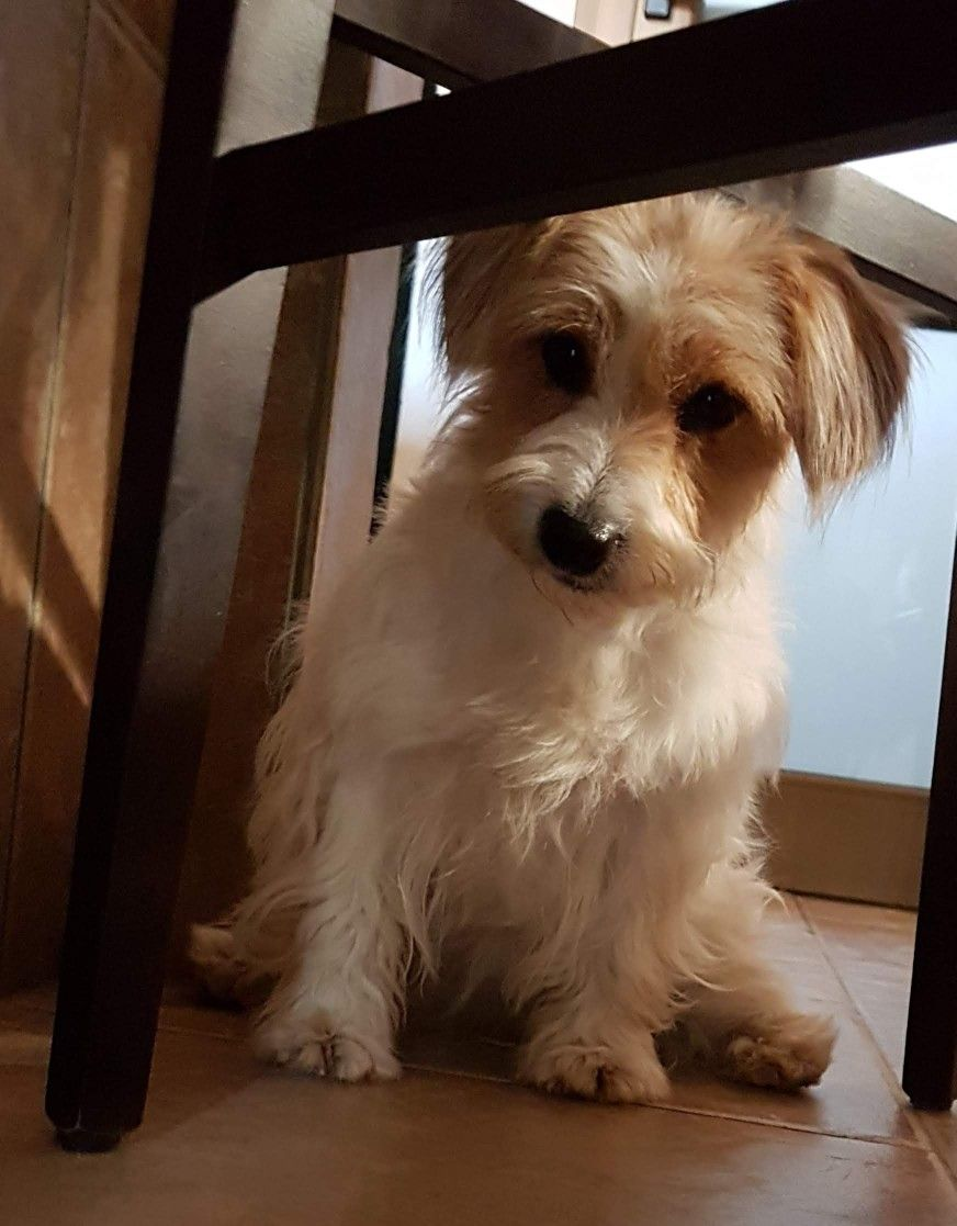 Perla Divina Jack Russell Pelo Largo Scruffy Dogs Cute Cats And Dogs Jack Russell