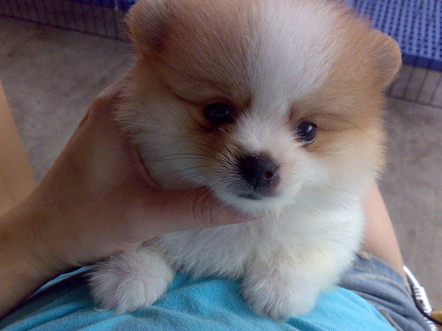Adopt A Red Pomeranian Mini Pomeranian For Sale Adoption In Singapore Adpost Com Mini Pomeranian Pomeranian For Sale Pomeranian