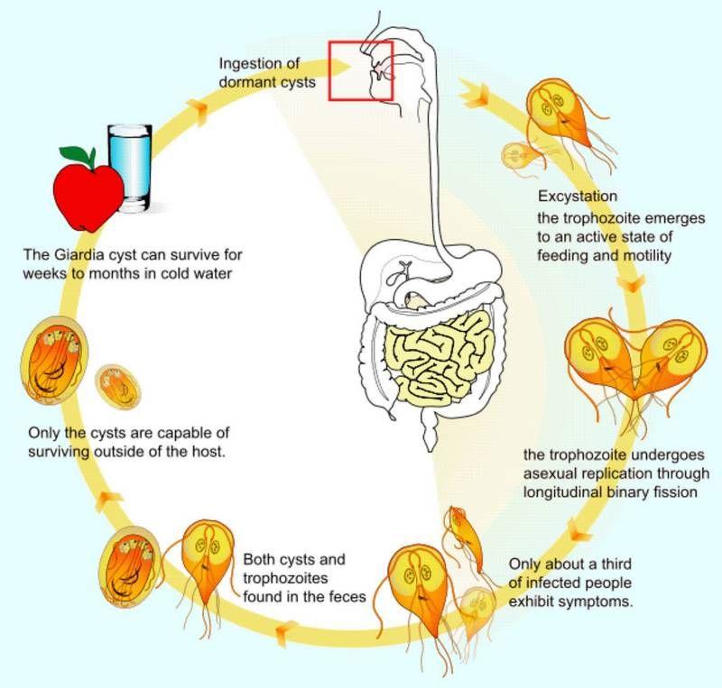 giardiasis life cycle)