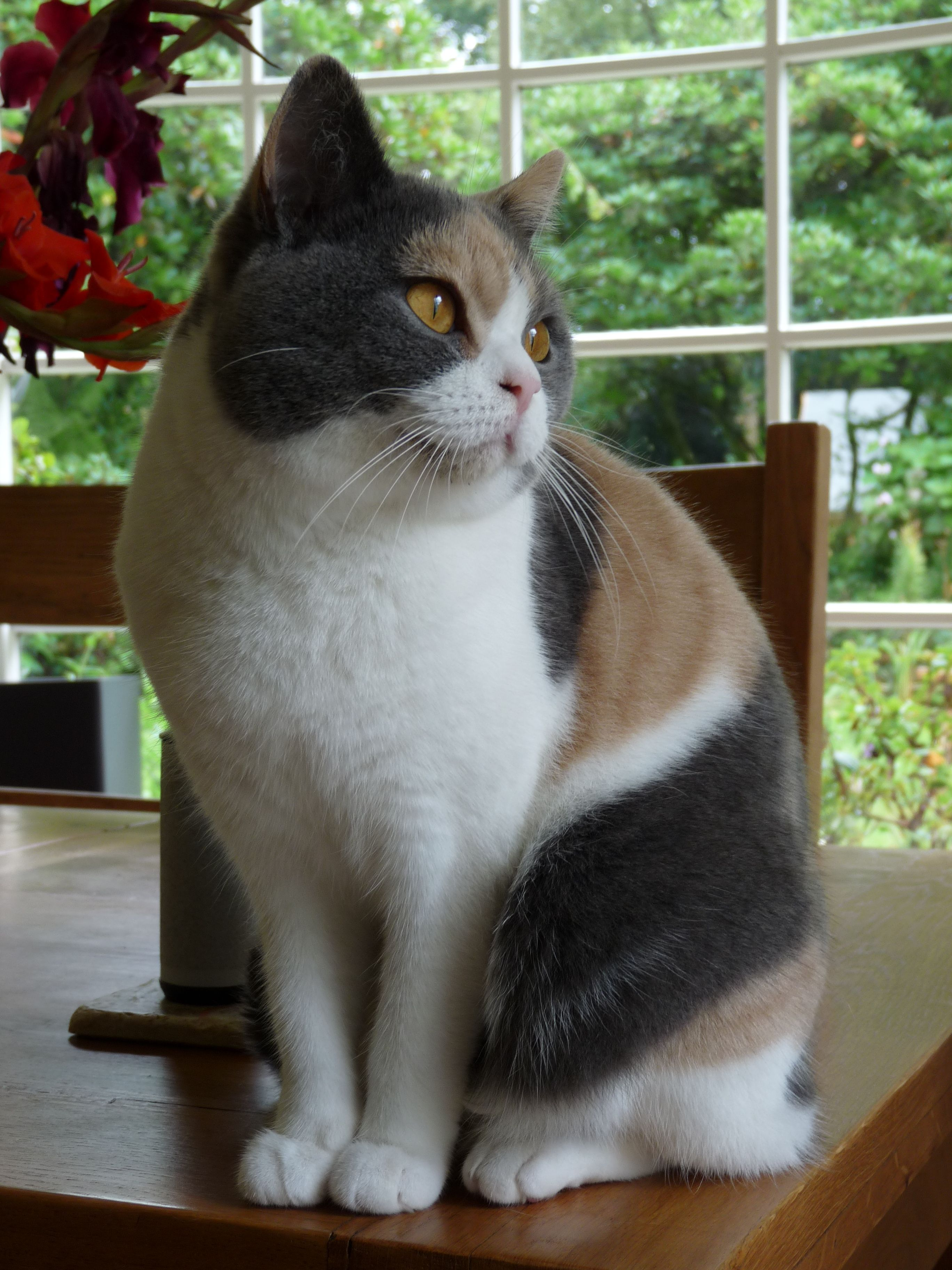 British Shorthair cat with dilute calico tri color coat Should