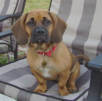 The Bassugg Or Pugglehound A Cross Between A Basset Hound And