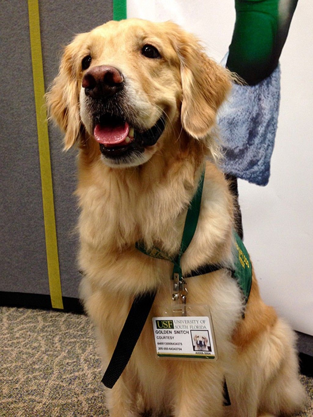 Therapy Dog Becomes Usf S Golden Snitch The Oracle Therapy