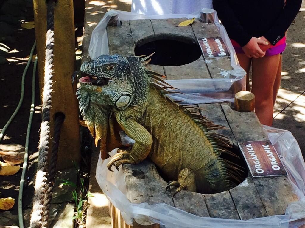 Next to last day in Puerto Vallarta...saw this climbing out of a trash can! #iguana #moderndinosaur #yikes pic.twitter.com/tYv0EG3yeQ