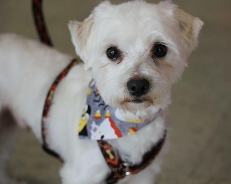 Bear With Short Haircut Dog Haircuts Maltese Haircut Short Poodle Haircut