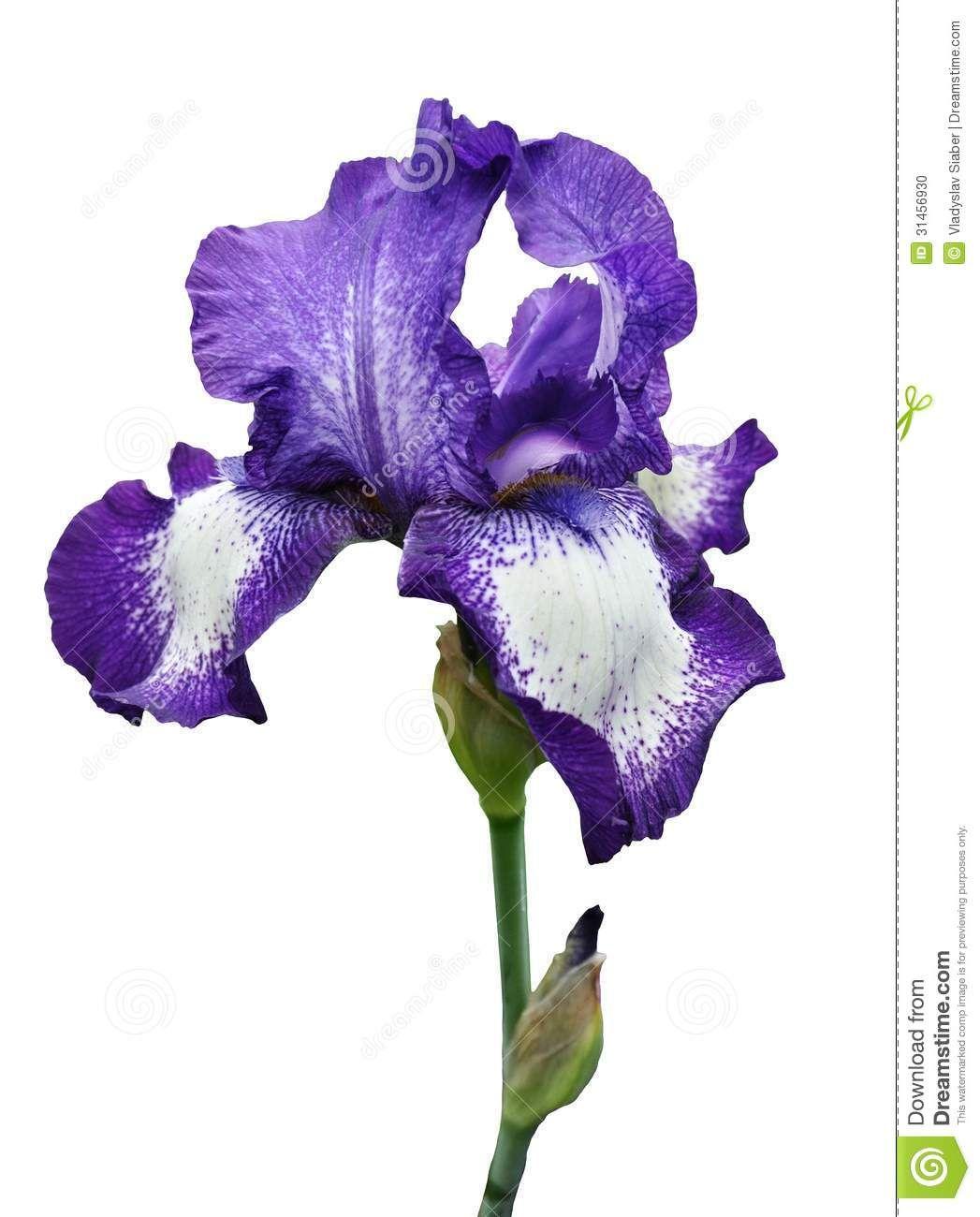 Violet Iris Flower Isolated Stock Photo Image 31456930 Iris Flower Photos Iris Flowers Blue Iris Flowers
