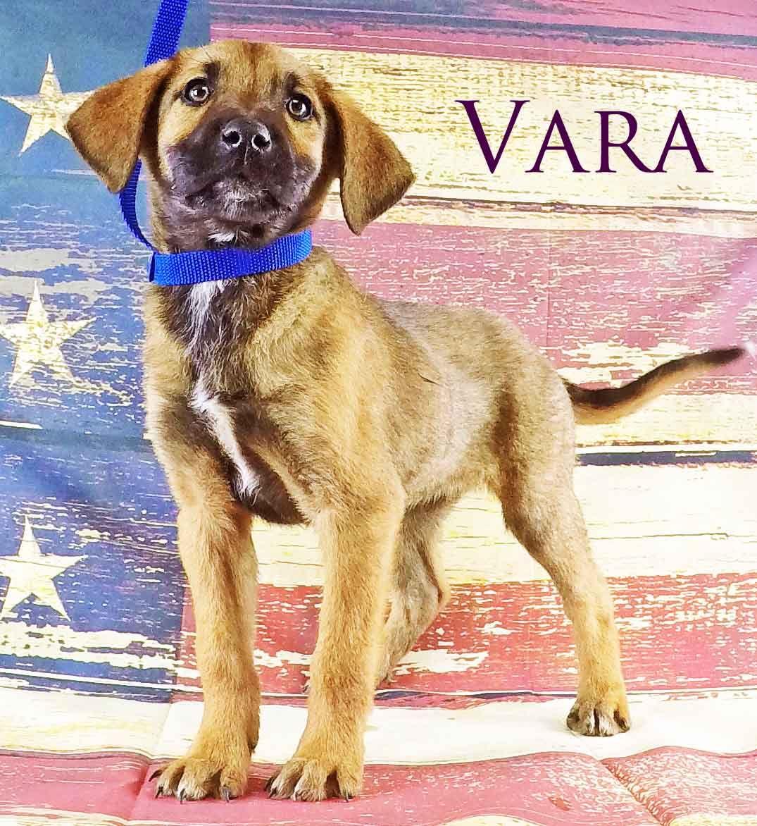 Labmaraner dog for Adoption in Griffin GA ADN on