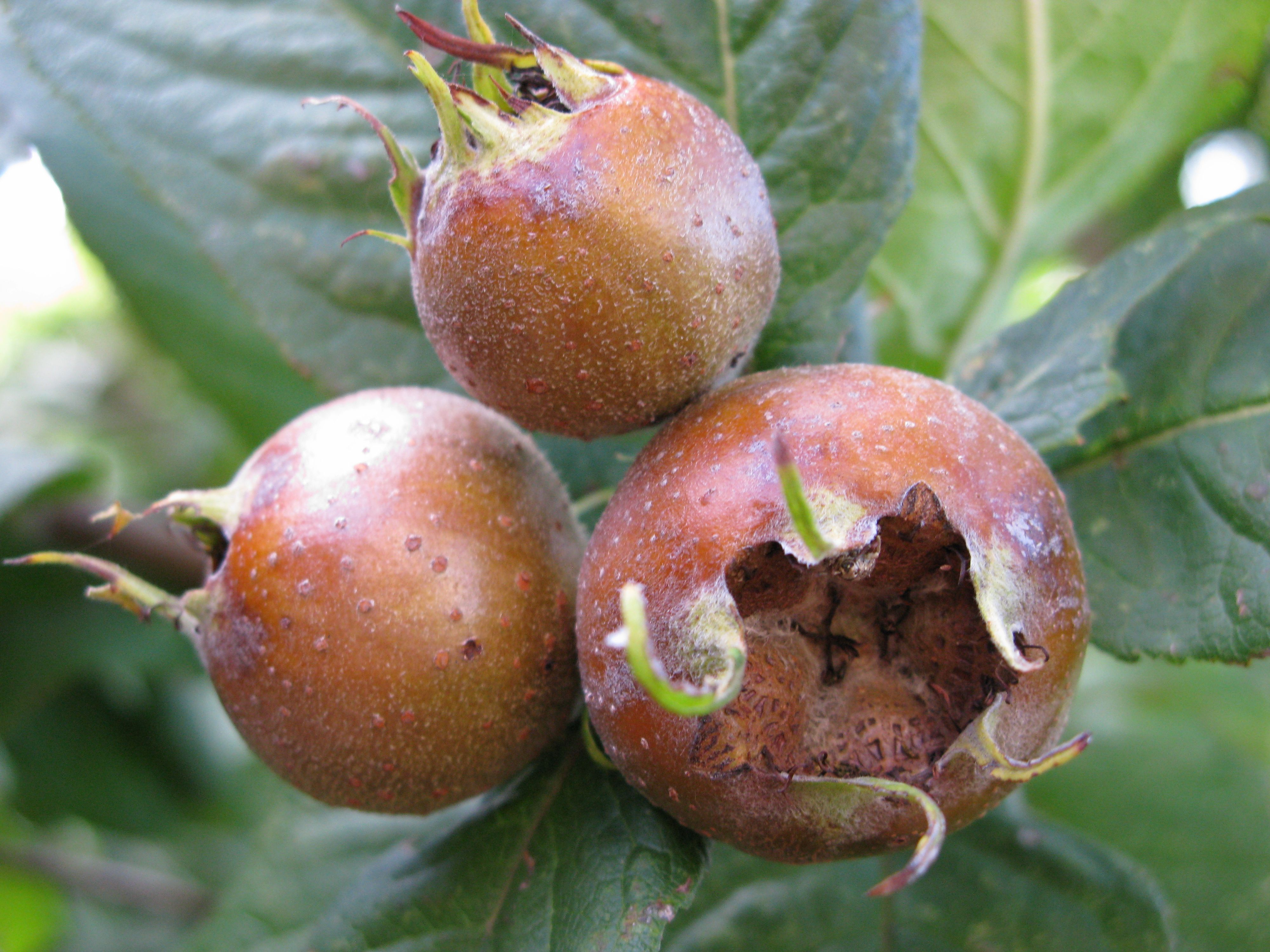 Medlar fruit in mid-autumn | The Medieval Garden Enclosed
