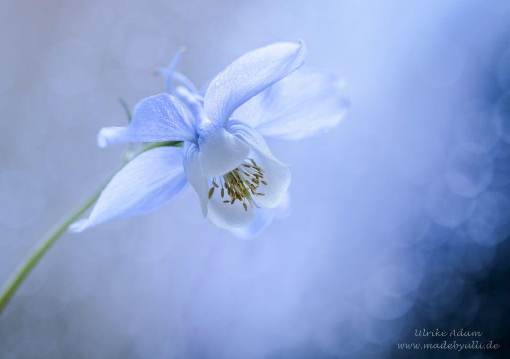 Blaue Akelei madebyulli.de #Akelei #Blume #Blau #Kalender #Blüte ...