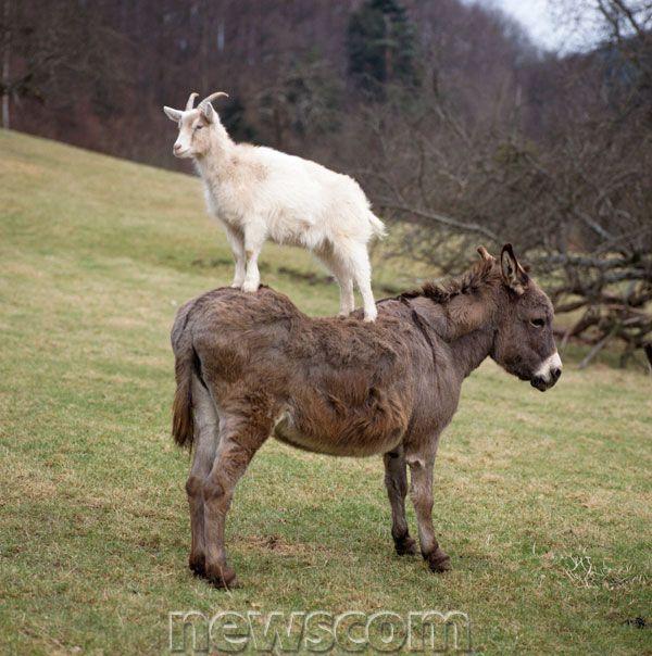 Goat On Donkey things on things Pinterest Donkey, Horse and - plastik mobe phantastisch