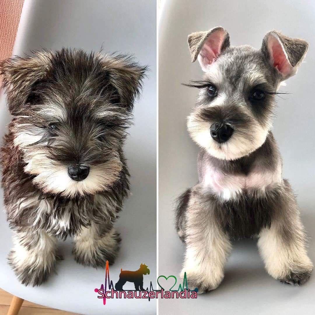 freddie | luna | miniature schnauzer puppies, schnauzer