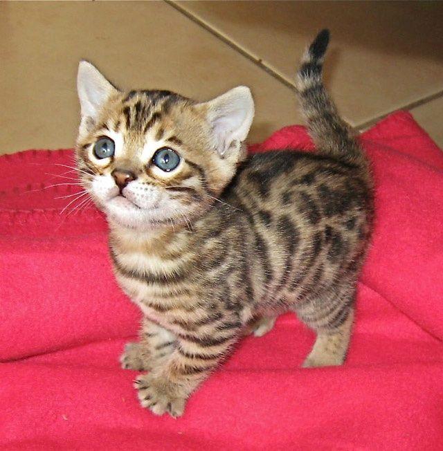 Bangal Kitten Savannah