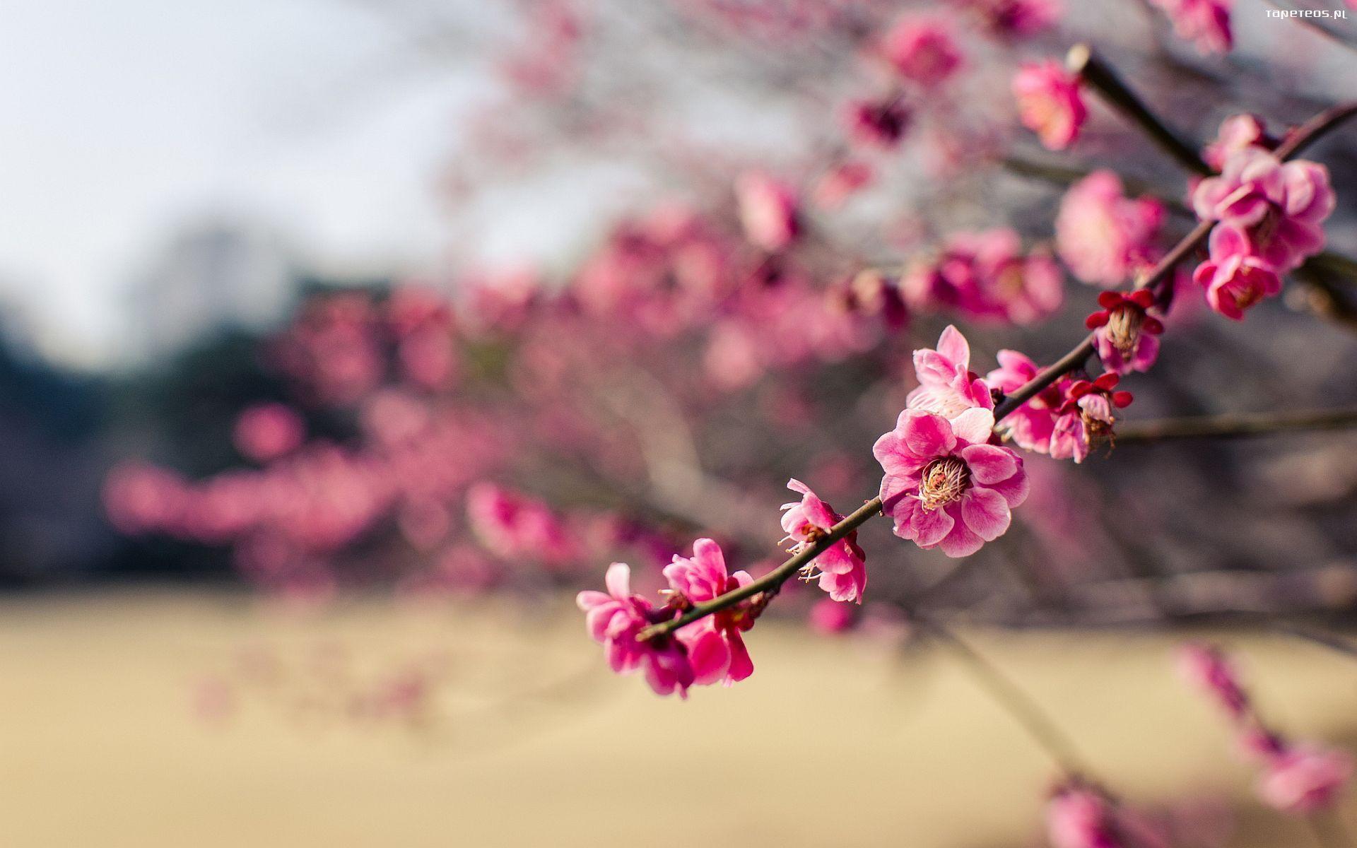 Tapety Na Pulpit Krajobrazy Kwiaty Szukaj W Google Hd Nature Wallpapers Cherry Blossom Japan Cherry Blossom
