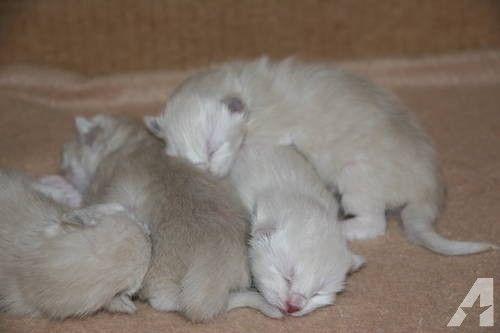 Siamese Snowshoe Kittens For Sale Snowshoe Kittens Kitten For