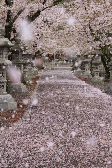 Pink Falling Cherry Blossoms Looks Like It S Snowing Scenery Cherry Blossom Japan Nature