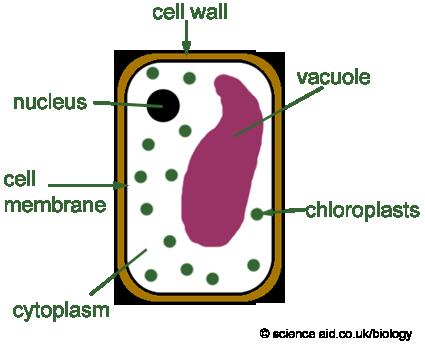 Simple Plant Cell diagram | Science | Pinterest | Simple plant ...