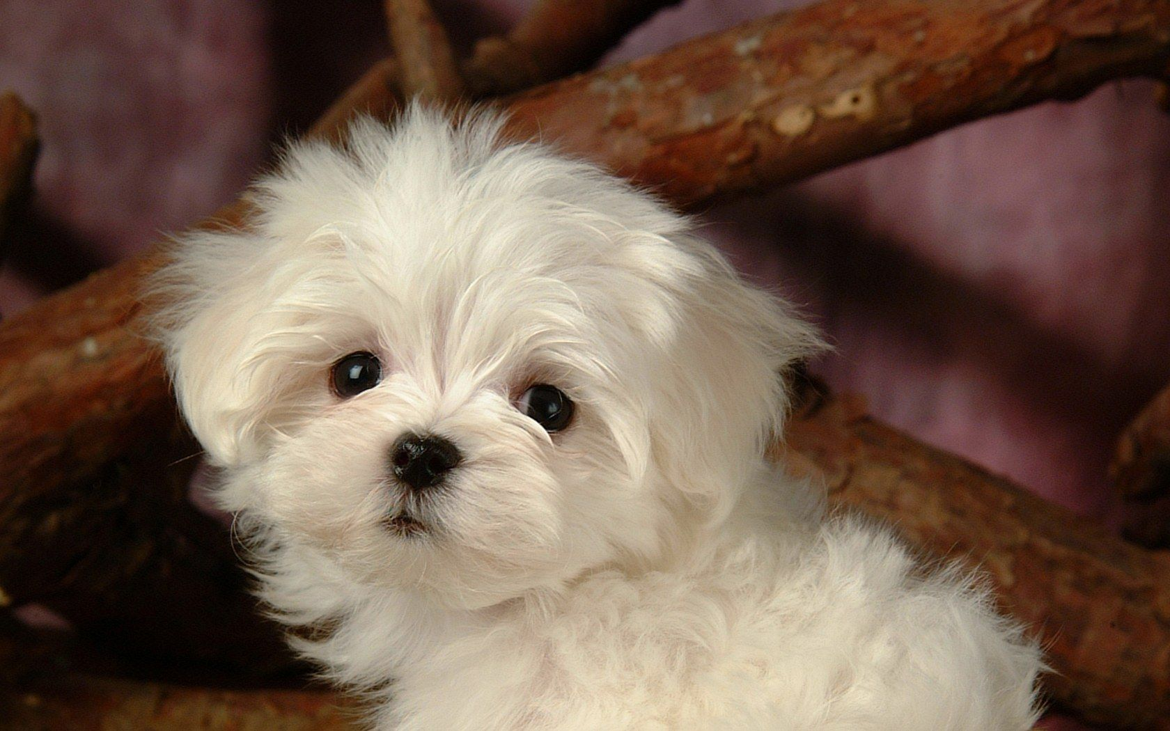 Fluffy Maltese Puppy Dogs White Maltese Puppies Wallpapers 1680