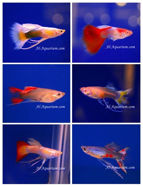Guppy Fish Fish Farm For Sale And Export Tropical Fish Exporter Thailand View Male Guppy Fish Farm For Sale Thailand Tropical Fish Exporter Al Aquarium Pr Guppy Fish Tropical Fish Guppy