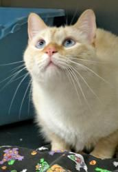 ROBERT REDFORD - I'M BACK & NEED SOME LOVING!!! is an adoptable Siamese Cat in Frisco, TX. Hello Everyone! My name is Robert Redford. That's right, Robert Redford! Like my namesake, I have striking na...