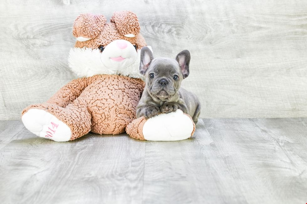 French Bulldog Puppies For Sale Ohio Frenchie Pups Online