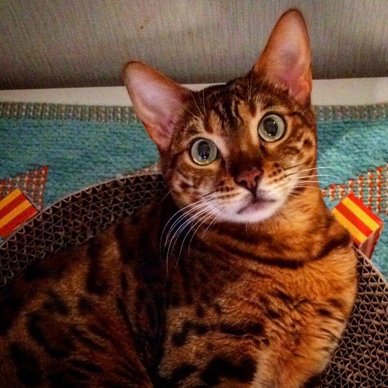 "tokyobenglcat: ""Tokyo Bengl Cat 東京豹猫 """
