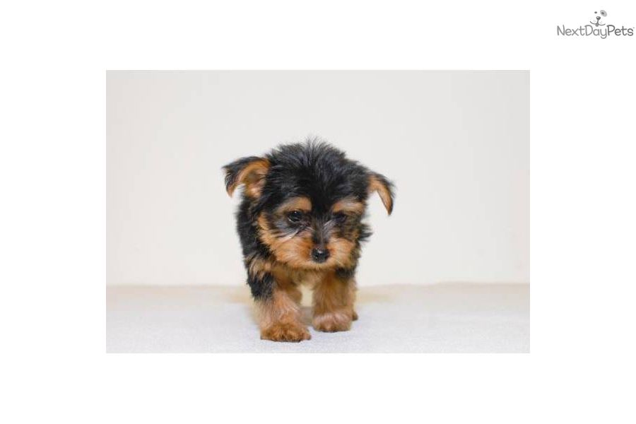 Yorkiepoo Yorkie Poo puppy for sale near Columbus, Ohio