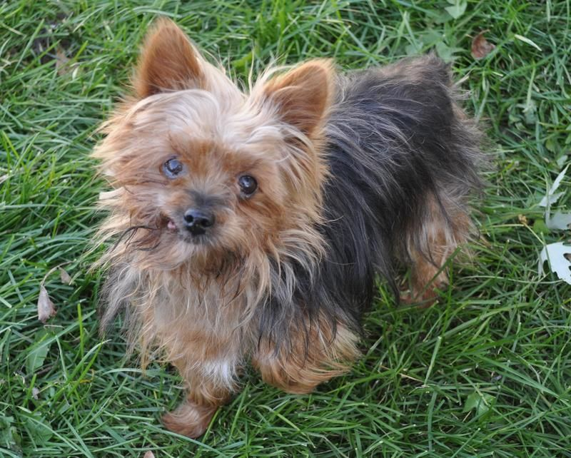 Adopt Cash On Petfinder Fluffy Dogs Rescue Dogs Yorkshire Terrier Dog