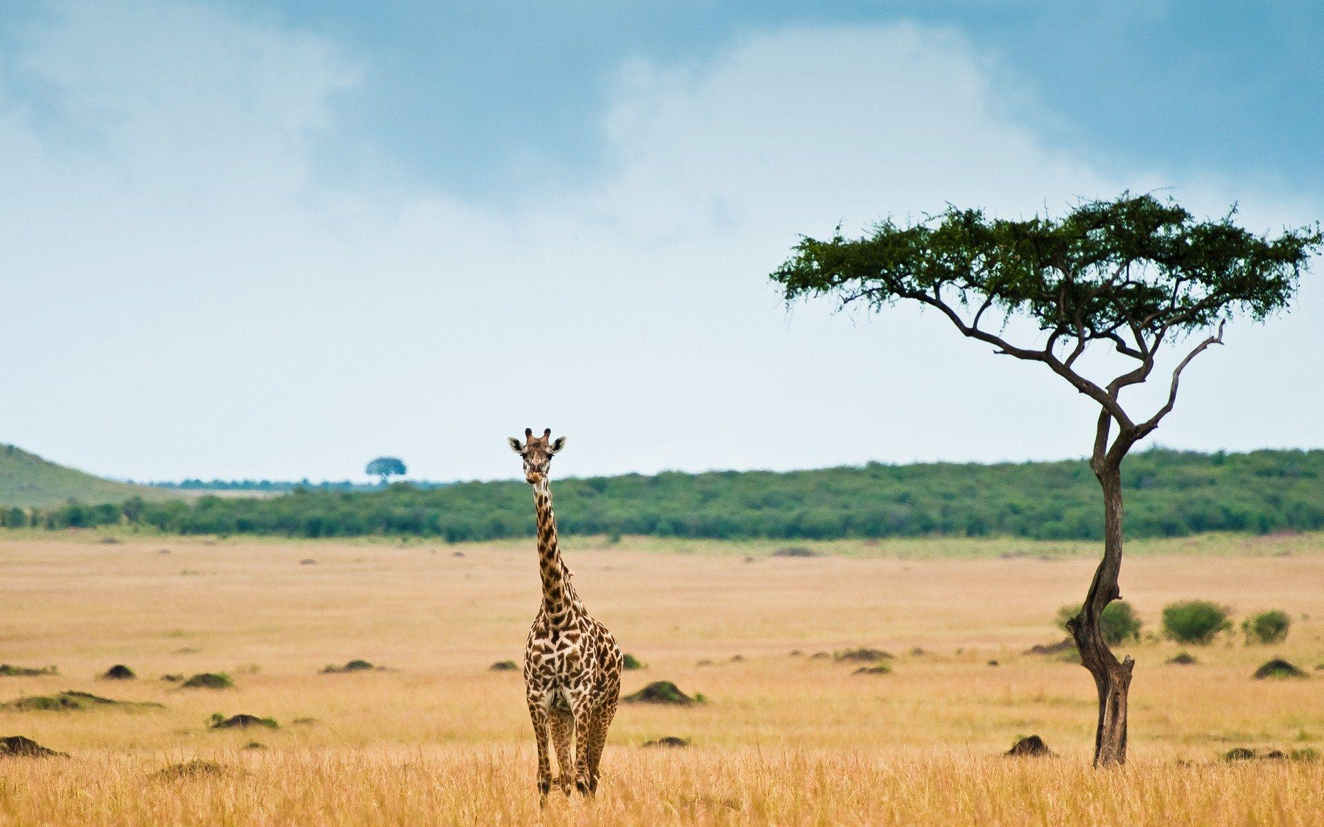Africa Giraffe Giraffe pictures, Savannah desert