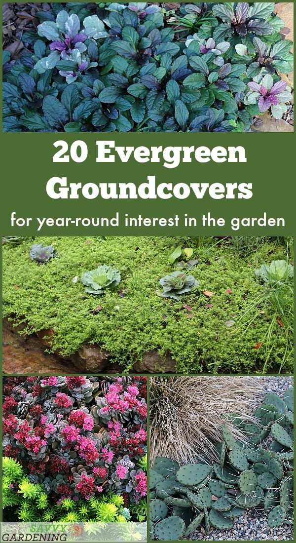 Evergreen Groundcover Plants 20 Choices For Year Round Interest Evergreen Groundcover Ground Cover Plants Ground Cover Plants Shade