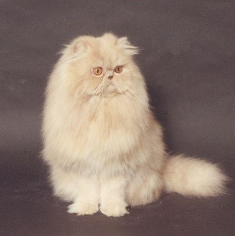 The Cream Persian Morninglory Persians Beautiful Cats Pretty Cats Persian Cat