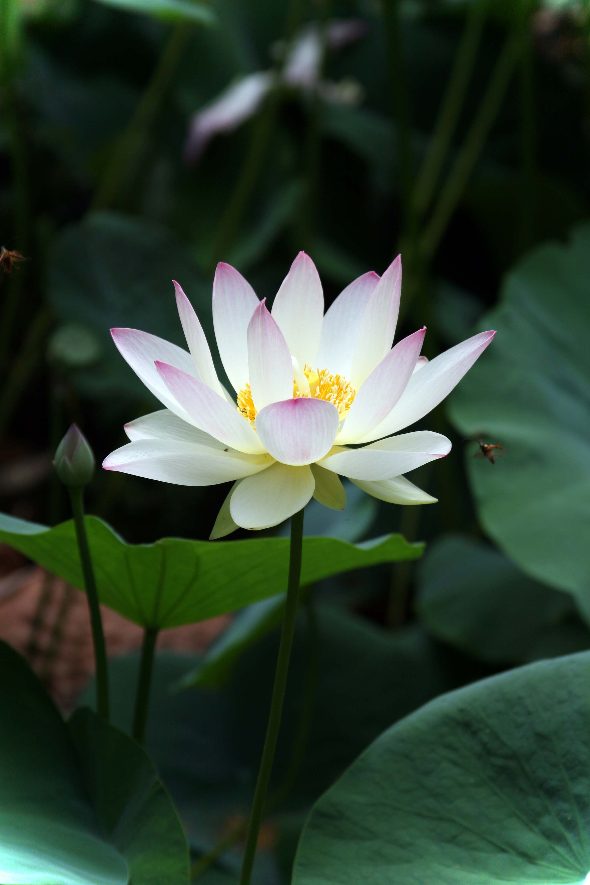 White Lotus Lily Visions Flowers Lotus Water Lilies