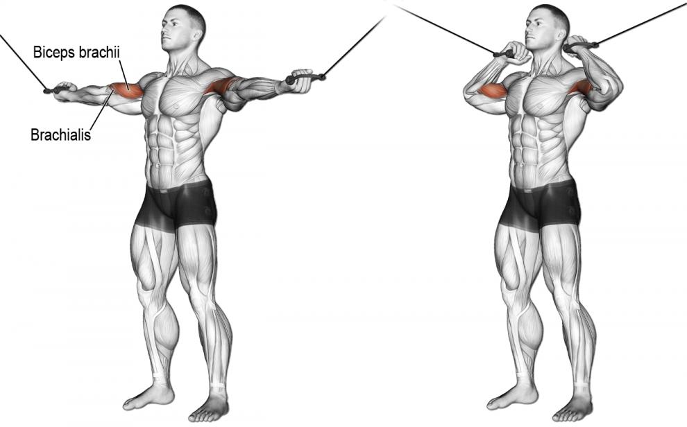 Comment effectuer le Curl poulie vis à vis | Anatomie musculation ...