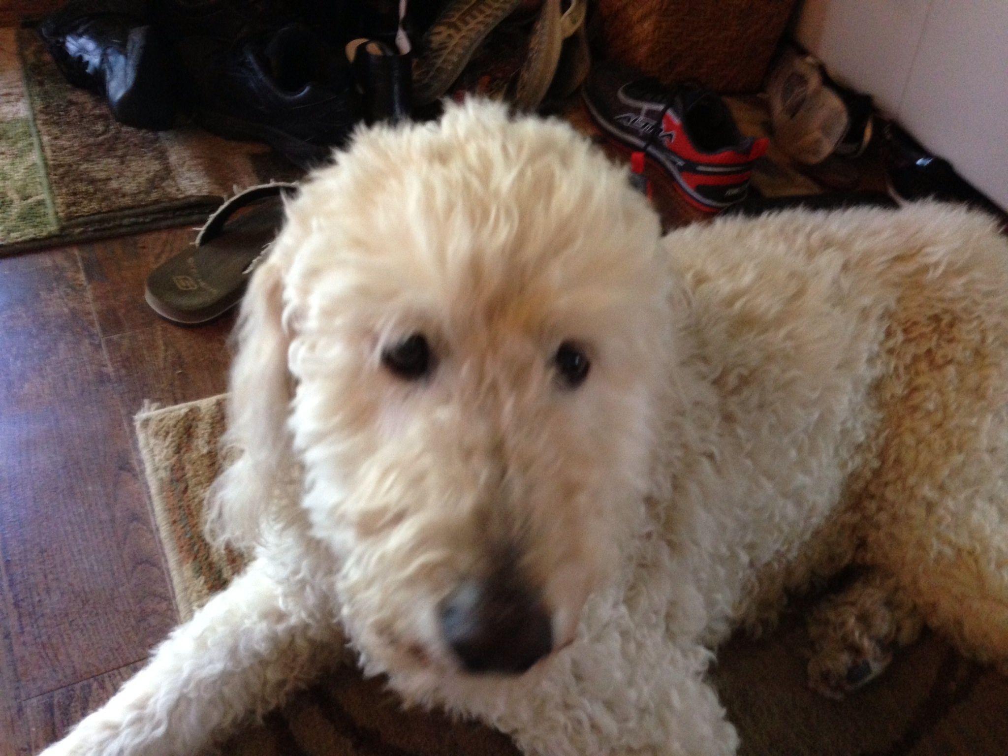 My 14 1/2 year old Golden Doodle named Jazz    best dog ever! | Jazz