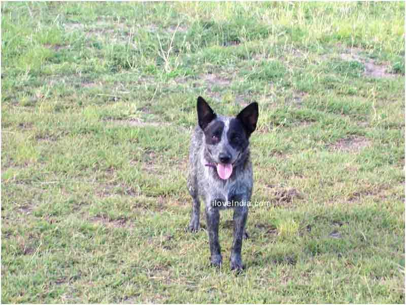 Australian Stumpy Tailed Cattle Dog Also Known As The Tail Heeler Or The Stumpy Is Not A Short Tailed Australi Austrailian Cattle Dog Working Dogs Breeds Dogs