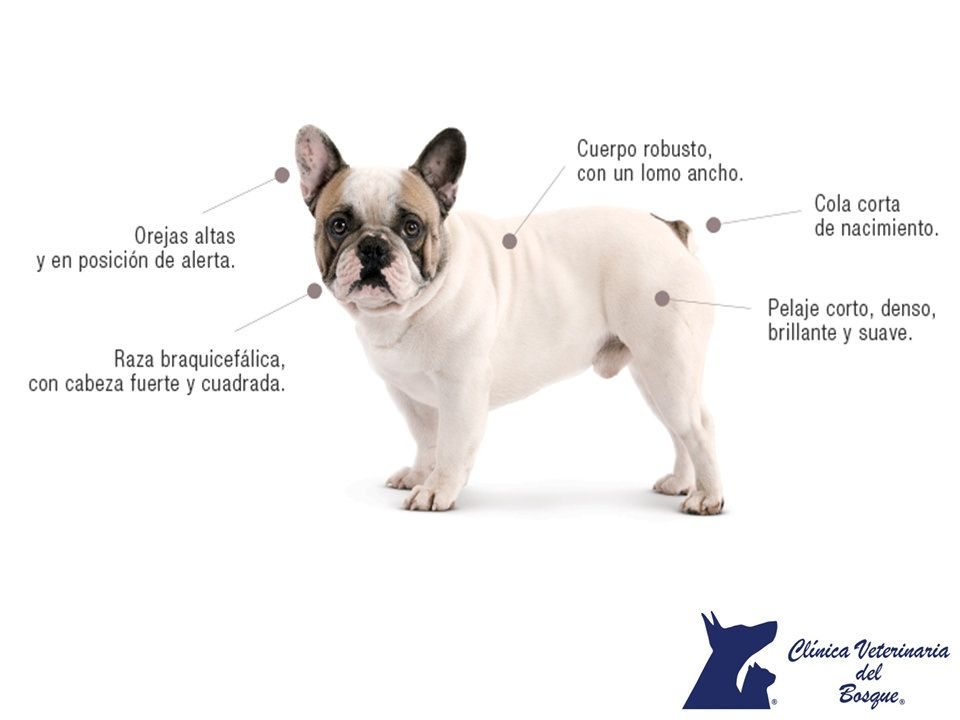 Caracteristicas Del Bulldog Frances Clinica Veterinaria Del Bosque 1 Bulldog French Bulldog Dogs
