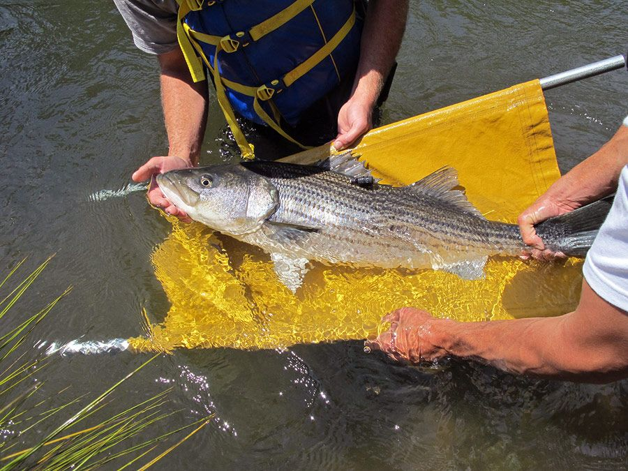 A striped bass with an acoustic tag to evaluate its
