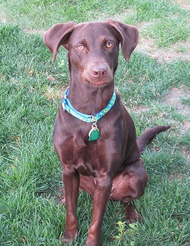 Kim Chocolate Lab Mix Vizsla