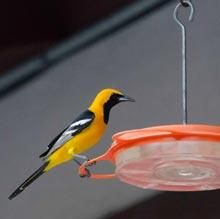 Hooded Oriole by Susie Kelly