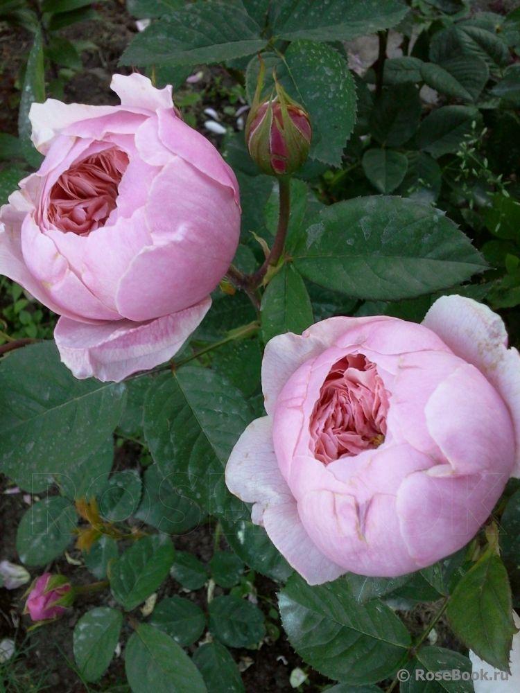 Brother Cadfael Ausglobe Beautiful Rose Flowers Small Flower Gardens Beautiful Flowers