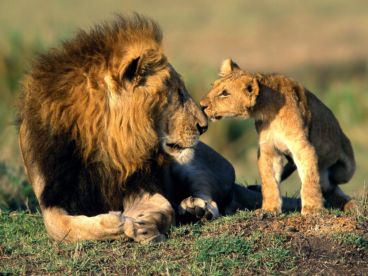 lion-son-and-father.jpg (1280×960)