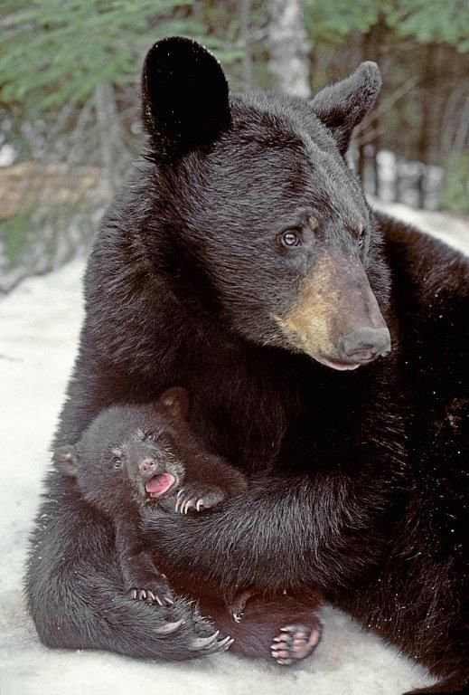 Ted, GiveMN, History, and Cub Names - UPDATE November 16, 2017 - The Wildlife Research Institute