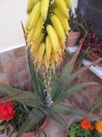 Aloe coltivazione