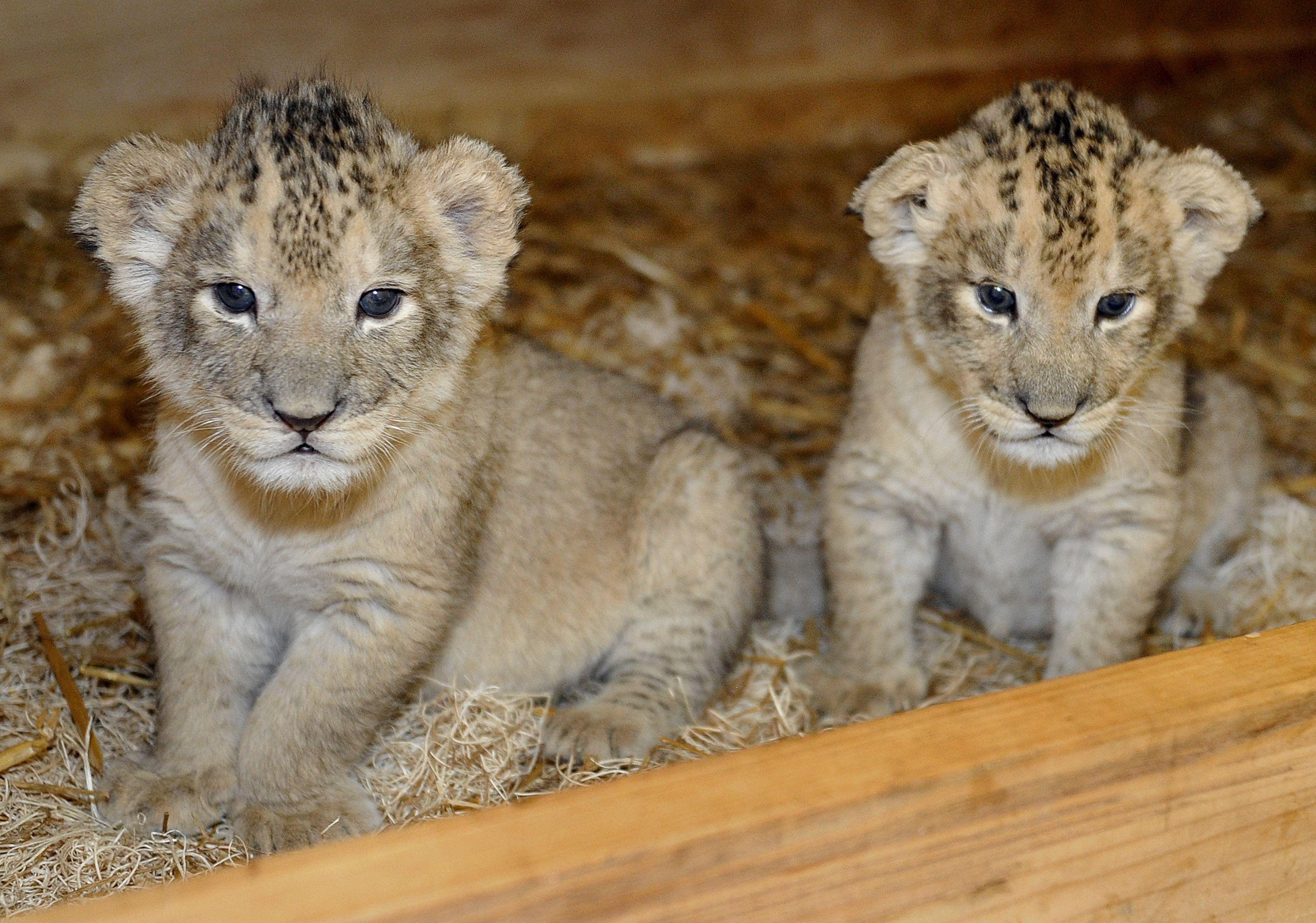 Keepers Step In To Raise Maryland Zoo S First Ever Lion Cubs Baby Animals Pictures Baby Animals Zooborns