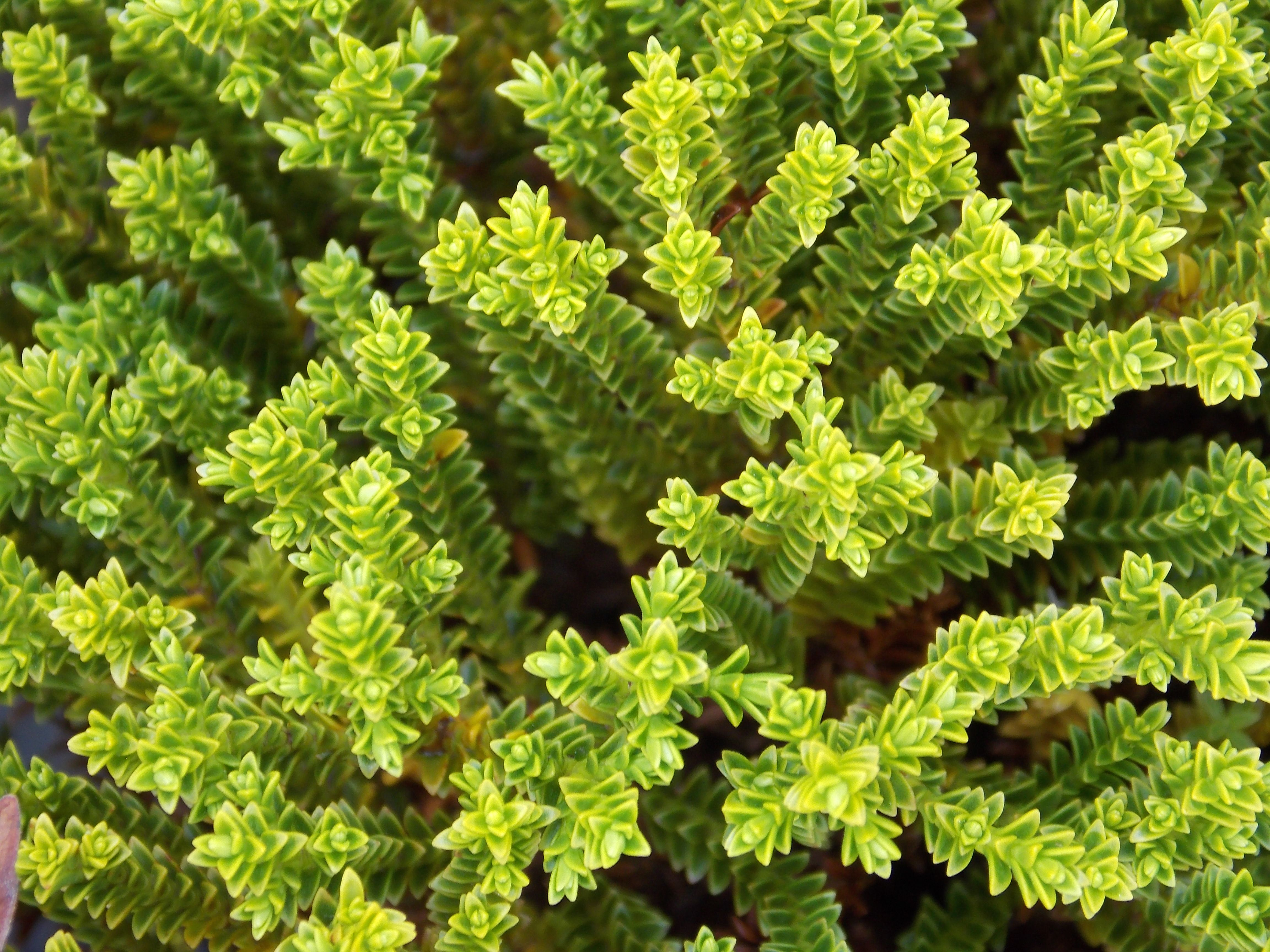 Hebe Green Globe is a low pact evergreen shrub with tiny
