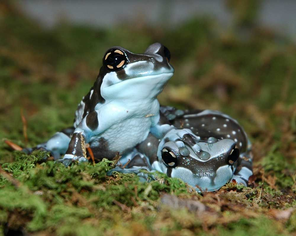 One Amazon Milk Frog Was Fat And The Other Skinny Description From
